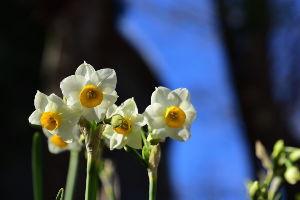 川西市周辺で女友達&彼女になってもいい方いませんか~ 池田市 五月山で水仙が咲き始めました。 まだ2~3割程度ですが咲いていたので撮りました。