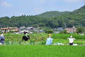 川西市周辺で女友達&彼女になってもいい方いませんか~ 猪名川町 水田に案山子がいたので撮りました。