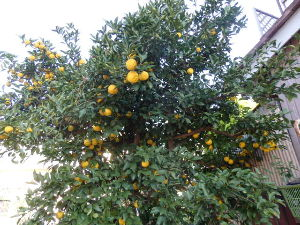 家庭菜園好き 今日は良く晴れて風も無く、 最高の上天気です^^:  母が植えた柚子で、樹齢50年、鈴なりです。 当