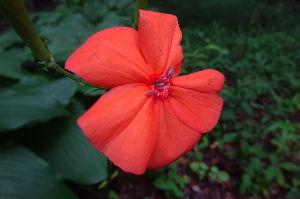 奥多摩ファン集合! 【レンゲショウマとフシグロセンノウ】 森林公園野草コースにはもう1つの夏の花、フシグロセンノウが早く