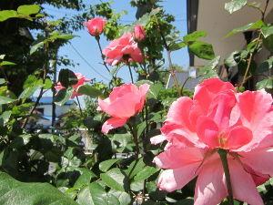 陰気で剛情な女房から逃げる方法 今晩は^^四季バラが満開?です。平年なら5月~6月に咲くのですが、今年は早い? 庭の土の面をコンクリ