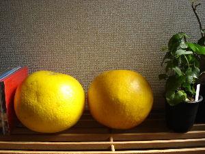 一人でお株中・・・ いただきもの  晩白柚。