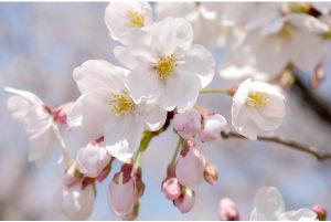 小さな旅って 私たちの街でも 2,3日前に桜の花の開花宣言があったと思っていたら もう5,6分咲きの見ごろになって