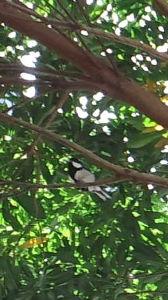 今、何をしてますか?今日も元気に! 今日は雲ひとつない沖縄です(*^▽^*)  昨日の出勤前に庭仕事してたら、ホルトの木に鳥の声。。何の