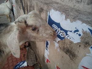 バンコクで一人暮らし始めました Kochi も人員削減か 😨 壁の清掃にヤギまで駆り出されてた てーことで寝台列車でエルクレムに着い