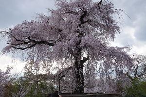気分転換しませんか? 京都円山公園のしだれ桜です。 満開です。 すごい人でした。