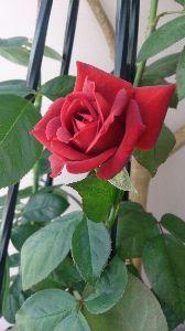 ×1集まれ 薔薇はまだ初心者なんですよ(((^_^;) ましてや植木鉢で育てるのは初めてなんです  このバラの名