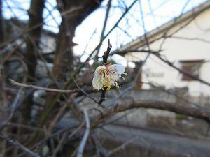 デジカメがお友達です 庭の梅の木に梅の花が咲いているのを思い出して撮ってみました  接写のピントを合わせるのに少し時間がか