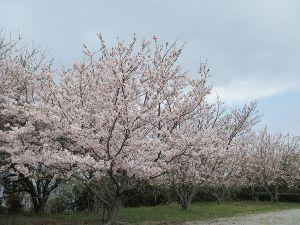 デジカメがお友達です イレブンさん、こんばんわ(^O^)/  今年は桜の開花が遅かったです やっと咲いたと思ったら連日雨で