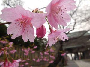 Nikon Fan Club こんばんは、ジャックです・。 河津桜だと思います・。 S6400です。  中山法華経寺に入って右側に