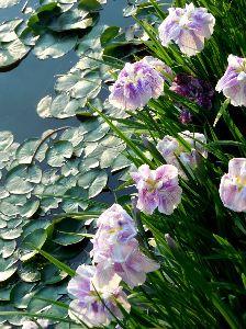 Nikon Fan Club おはようございます、みなさん。   花菖蒲が咲き始めました。  アチコチの、菖蒲の名所も観察開始です