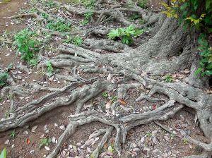 Nikon Fan Club おはようございます。  鎮守の森の巨木の足下です・。
