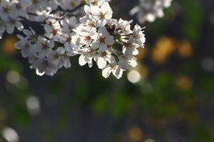 ゆらゆらと・・・ はや4月  さくらも終わりに近づいた  年々桜の咲く時期が早くなってる?  小さいころは入学式の頃に