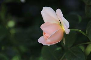 ゆらゆらと・・・ 5月と言えば薔薇  数年前にカメラを持って散歩していた時に 素晴らしいバラの庭の家があってあまりに感