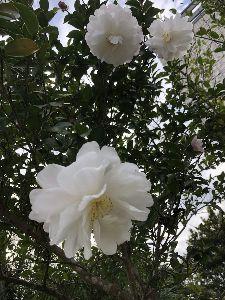 君津市周辺で年齢問わず友達募集^^ 我が家の庭では  山茶花の花が咲いている