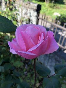 君津市周辺で年齢問わず友達募集^^ 同じく    庭に咲いている  薔薇の花🌹  薔薇の花って    今頃の花?