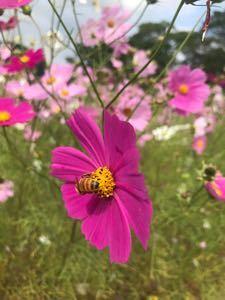 びっくり箱 今日のコスモスの花.+*:゚+。.☆