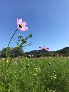 びっくり箱 おはよう~北斗星さん.+*:゚+。.☆  秋晴れのお天気でした☺️🎶  コスモスの花たくさん咲きはじ