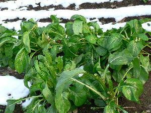 生食野菜と果菜が好きです  初雪に当ってひしゃげているオ-タムポエムが可哀相だった。  塔を食べる野菜なのだが、葉も煮物にして