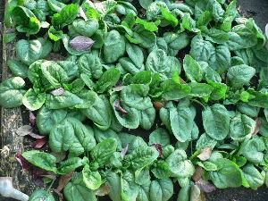 生食野菜と果菜が好きです  晩秋になって畑の野菜類も少なくなったが初秋に植えたホウレン草がようやく  食べられるまでに生育して