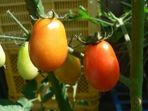 生食野菜と果菜が好きです  今日は一日中曇り空で気温も24~5℃で推移していたので、過ごし易かった。   中型プランタ-植えの