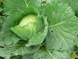 生食野菜と果菜が好きです  キャベツが寒さにもめげず生育しているが、なかなか大きく巻かないので、雪舞う時まで   食べられるま