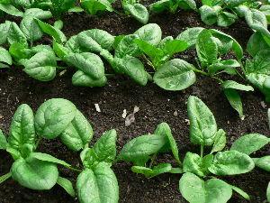 生食野菜と果菜が好きです  9月初旬、畑に蒔いたホウレン草が緑濃い葉の色で生育している。   今月の末か来月の初旬頃には収穫で