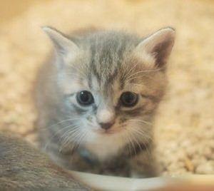 チンチラ猫さん飼っている方おられますか。 かわいい子猫の写真を貼りましょう❗❗❗❗