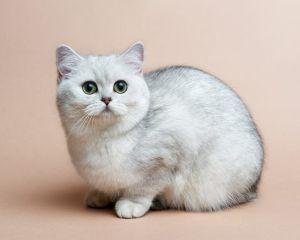 チンチラ猫さん飼っている方おられますか。  ここは チンチラ😸ちゃんのカテですよ   スレッド 違いをしないでください。    常識をもってや