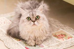 チンチラ猫さん飼っている方おられますか。 見回り隊長  おつかれ~さまです(=^・^=)  チンチラ😸 モフモフした長毛です。  ペルシャと、