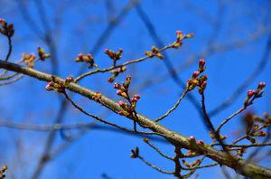 楽しく行こっ♪ 友達と   見上げて歩く      桜道  早咲きの桜の蕾が色付いて来たとか… 桜の前