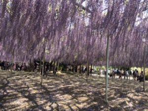「フェアレディ」 駆け足で「春」を追いかけてきました。  疲れて、毛利庭園には行けませんでしたが(笑)