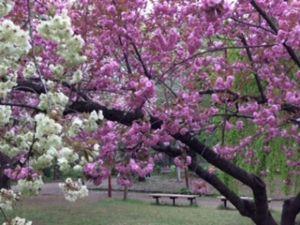「フェアレディ」 遅ればせながら桜  白と桃色の競演がきれいでした