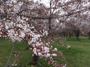 「フェアレディ」 桜と藤