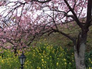 「フェアレディ」 母の誕生日祝い  少し遠出しました  桜と菜の花がきれいでした かなりの人混みでしたが・・