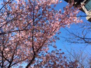 「フェアレディ」 1月はあまりに忙しく過ぎ 2月も中旬  母の誕生日祝いに  ホテルの庭園の桜が青空に映え この時期に