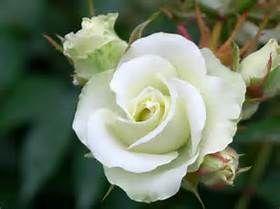 ☆☆究極の暇つぶし・画像しりとり☆☆ 白い薔薇 ⇨ら  今晩は
