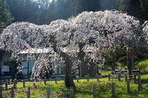 ☆☆究極の暇つぶし・画像しりとり☆☆ 桜も終わりに  次は「に」