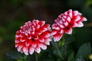 なんとなく写真 皆さん今日は、花も少なくなりましたね。  ダリア