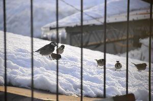 なんとなく写真 雪の小鳥達(ムクドリとスズメ)二階のベランダから