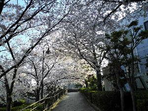 なんとなく写真 この天気ですので 桜の開花の早い事早い事 撮りに行きましたら もう散っている桜もありました。