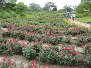 なんとなく写真      浜寺公園  バラ庭園     連休最終日  曇りがちでした