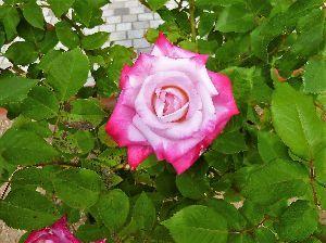 なんとなく写真 夏日、花フェスタ記念公園のバラ、生き生きしています。