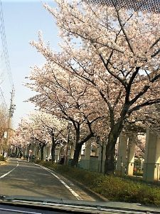 なんとなく写真 名古屋の桜も今がピークです。 この数日の暖かさで場所によっては桜吹雪が見られます。 春が駆け足で通り