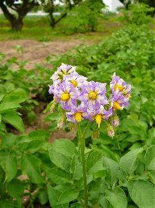 なんとなく写真 ジャガイモの花。 野菜の花も中々綺麗です。芋も旨いです。