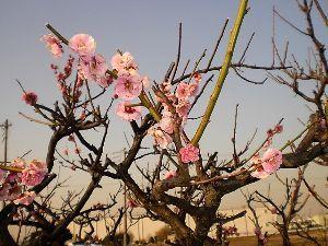 なんとなく写真 暖かい一日でした。 借りている畑の隣の梅の木の花が咲きました。畑作業をしていると、ほんのりと香りが漂