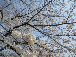 なんとなく写真       散歩に行く公園の桜も    綺麗です 綺麗な桜を見れることに     感謝ですね