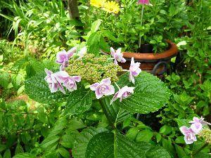 なんとなく写真 我が家の紫陽花。 数年前まで青色だったのに、いつの間にか赤色に変わってしまった。 土のせいかな?
