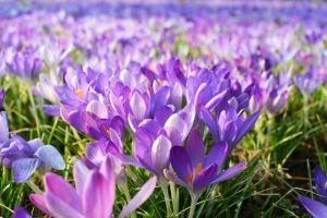 みんなでドロミテへ行こう! RyuSieさん、秋に咲くのはサフラン(同じクロッカス科)です。 紫色のみ,めしべが長くて食用、高価