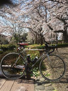 OO 自転車に乗ろう3 OO そこから尾根幹に出て、野津田公園の桜を眺め、日大三高の交差点を曲がって、、、尾根緑道の桜・・・そして